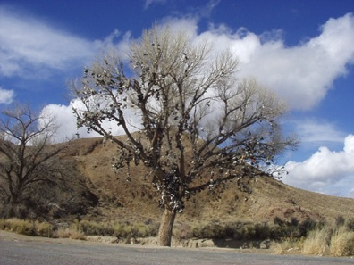 Shoe tree on Highway 50 in Nevada